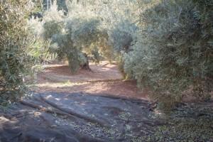 Olivos. Valdepeñas de Jaén