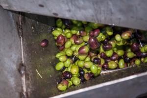 Proceso de fabricación del aceite de cosecha temprana. San Isidro