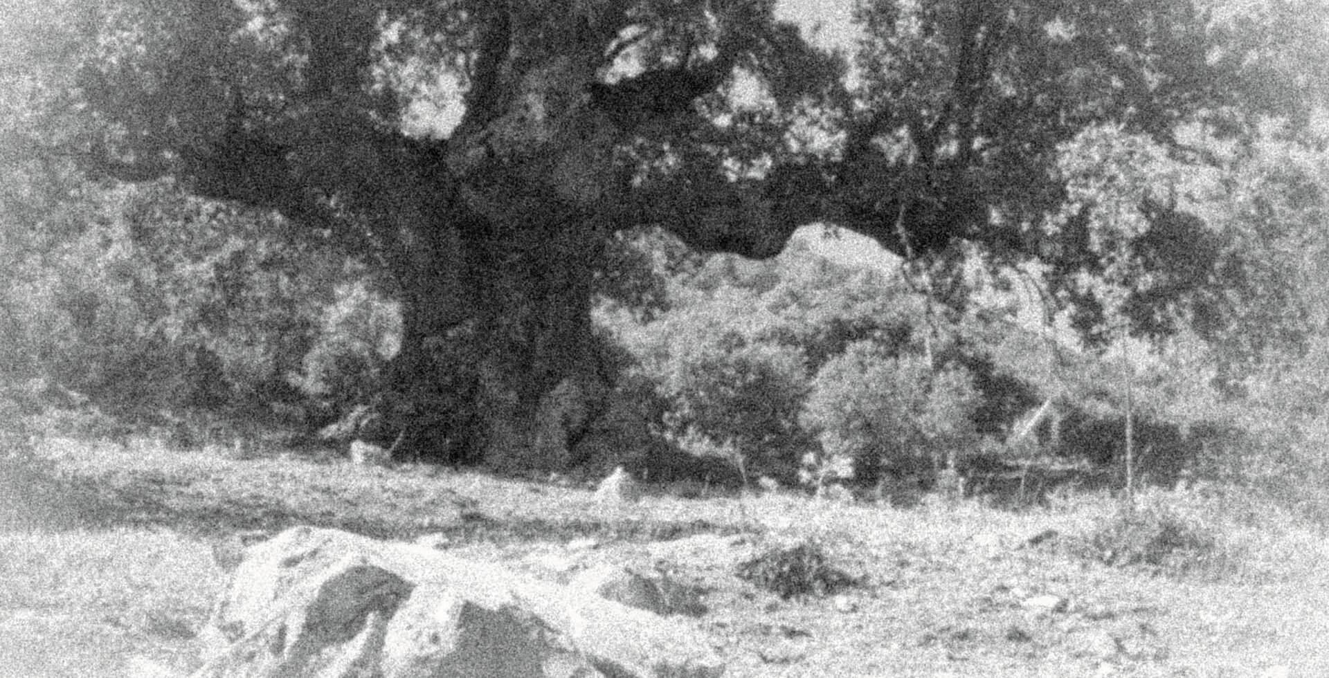 Quejigo del Amo o del Carbón, campos de Valdepeñas de Jaén.